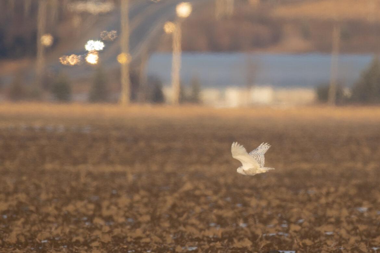 snowy owl in field