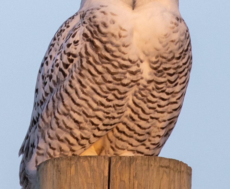Early Snowy Owl