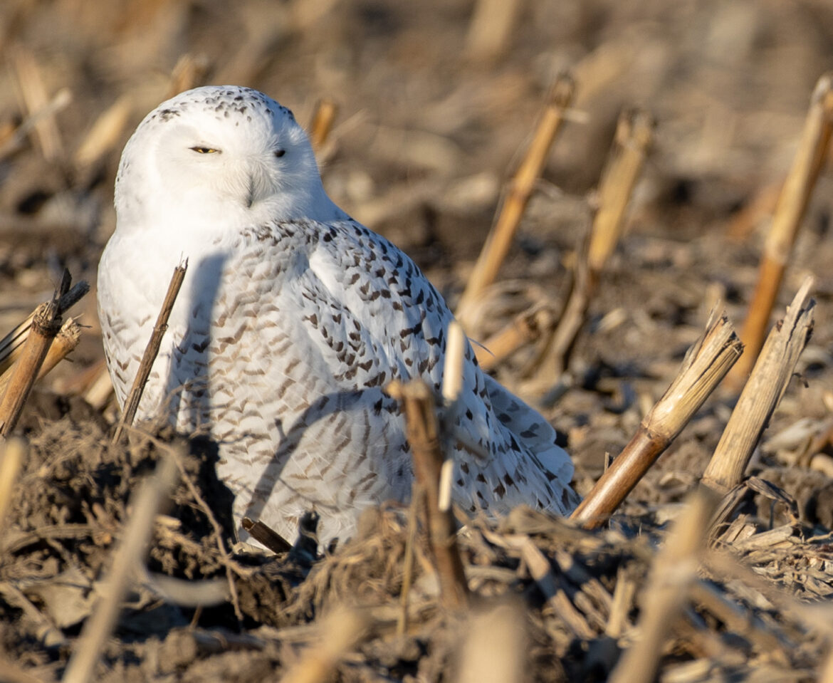 Barred and Snowy Owls