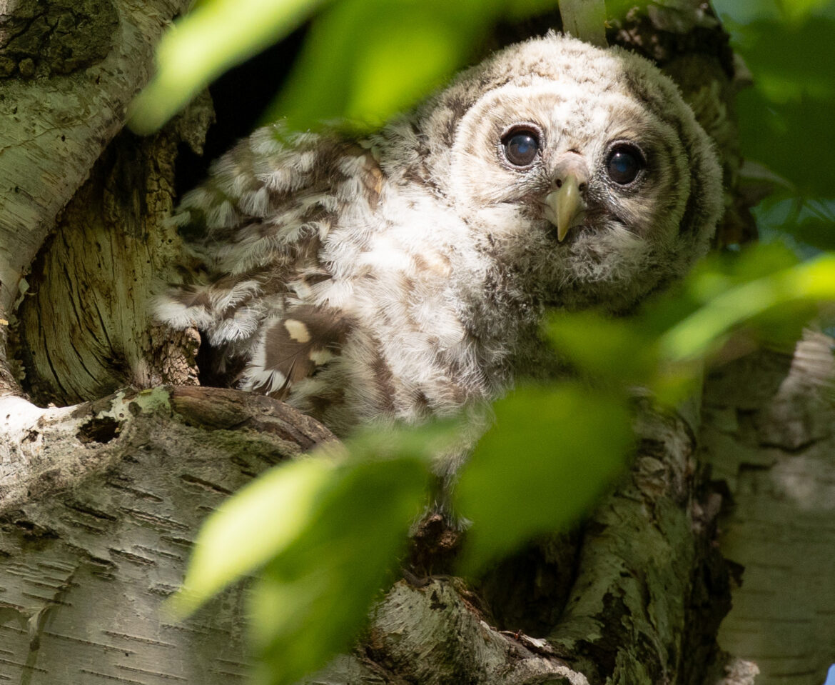 Barred Owls And Fledgling