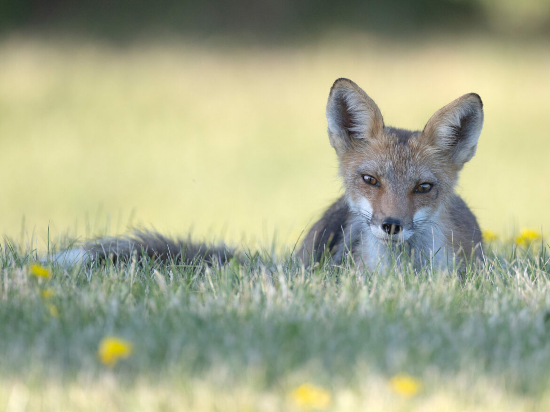 fox kt