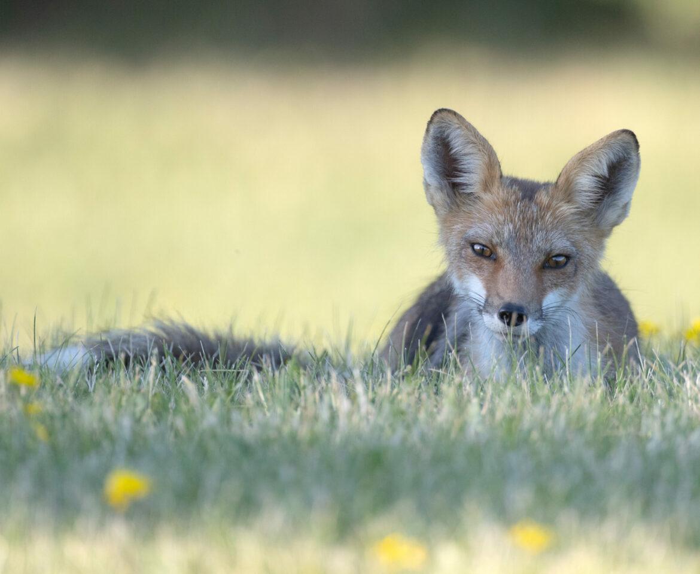 Kanata Foxes