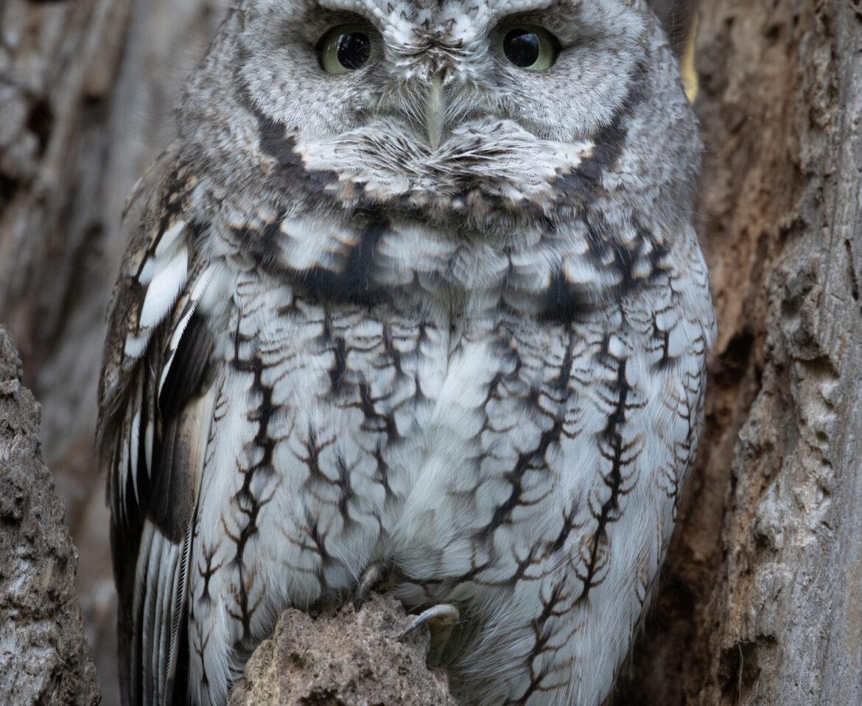 Screech Owl of Mud Lake